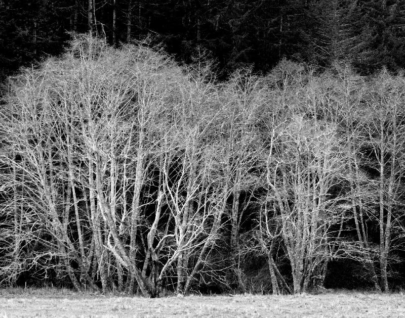 Alder Trees in Black and White