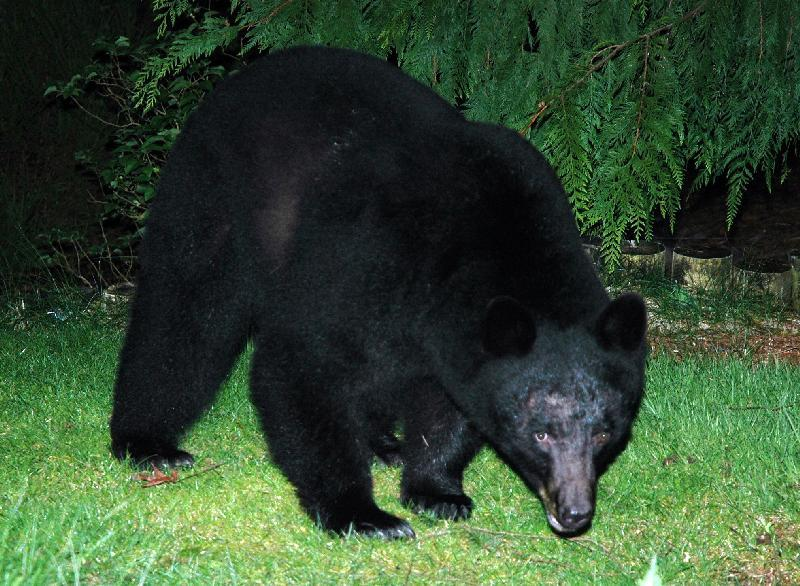 Black Bear - Florence, Oregon