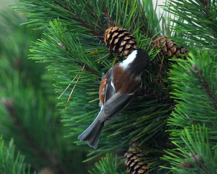 Chestnut-Backed Chickadee - Bandon, Oregon