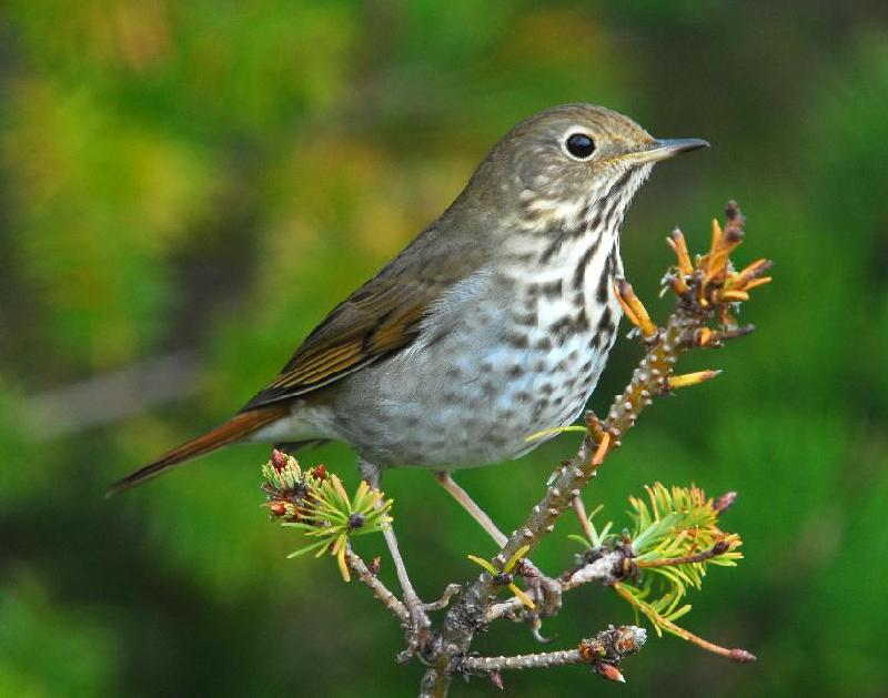 Hermit Thrush - Bandon, Oregon