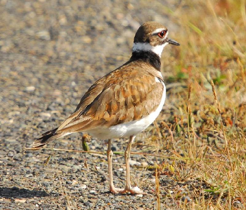 Killdeer - Bandon, Oregon