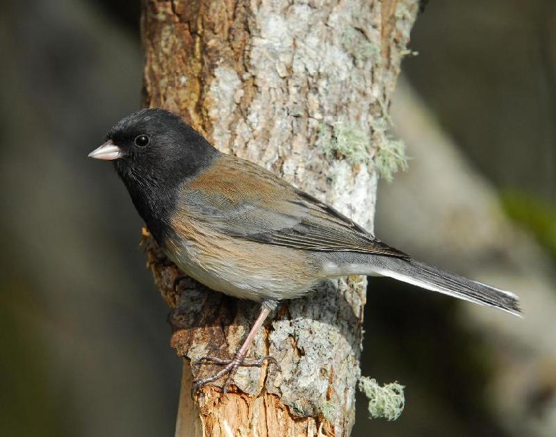 Oregon Junco - Bandon, Oregon