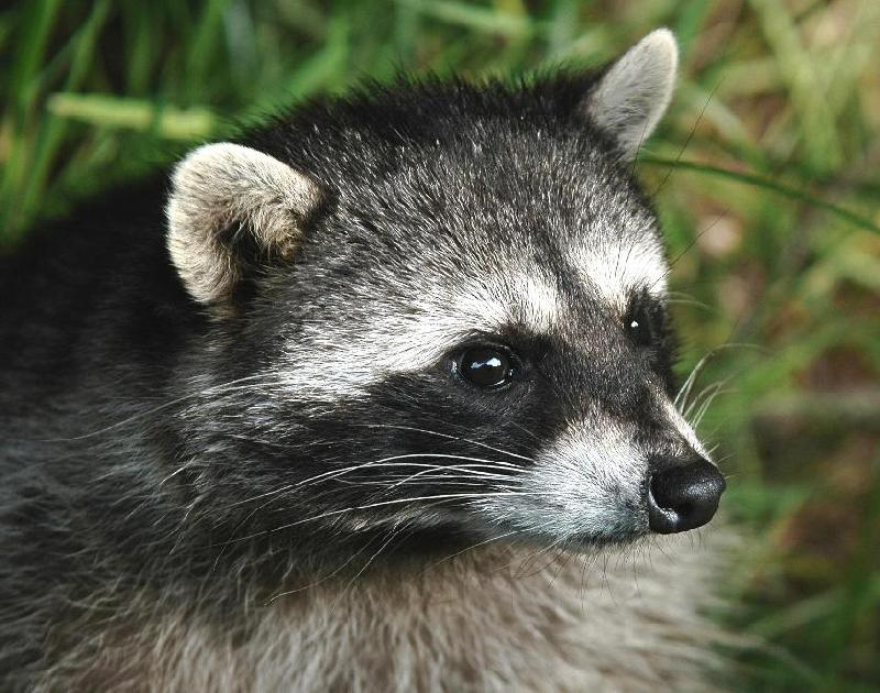 Raccoon - Bandon, Oregon