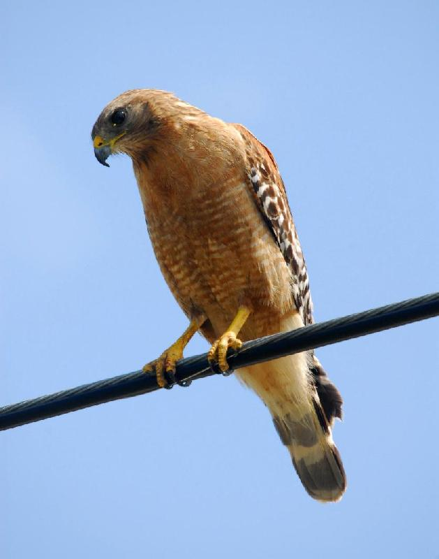 Red-Shouldered Hawk - Bandon, Oregon