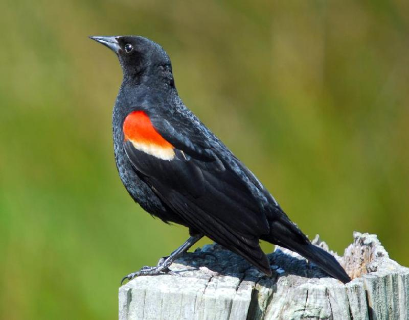Red-Winged Blackbird - Near Cape Blanco, Port Orford, Oregon