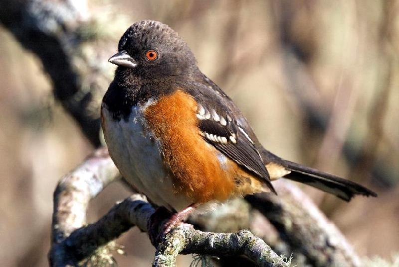 Spotted Towhee - Bandon, Oregon