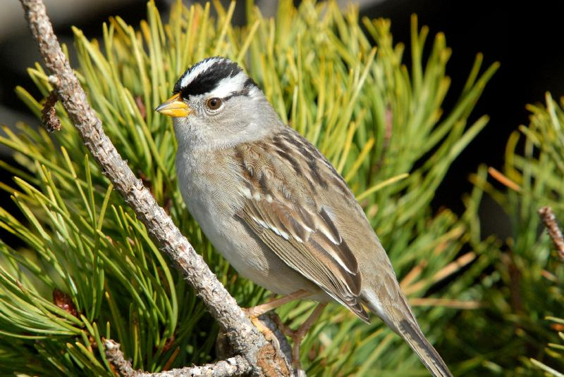 White-Crowned Sparrow - Bandon, Oregon
